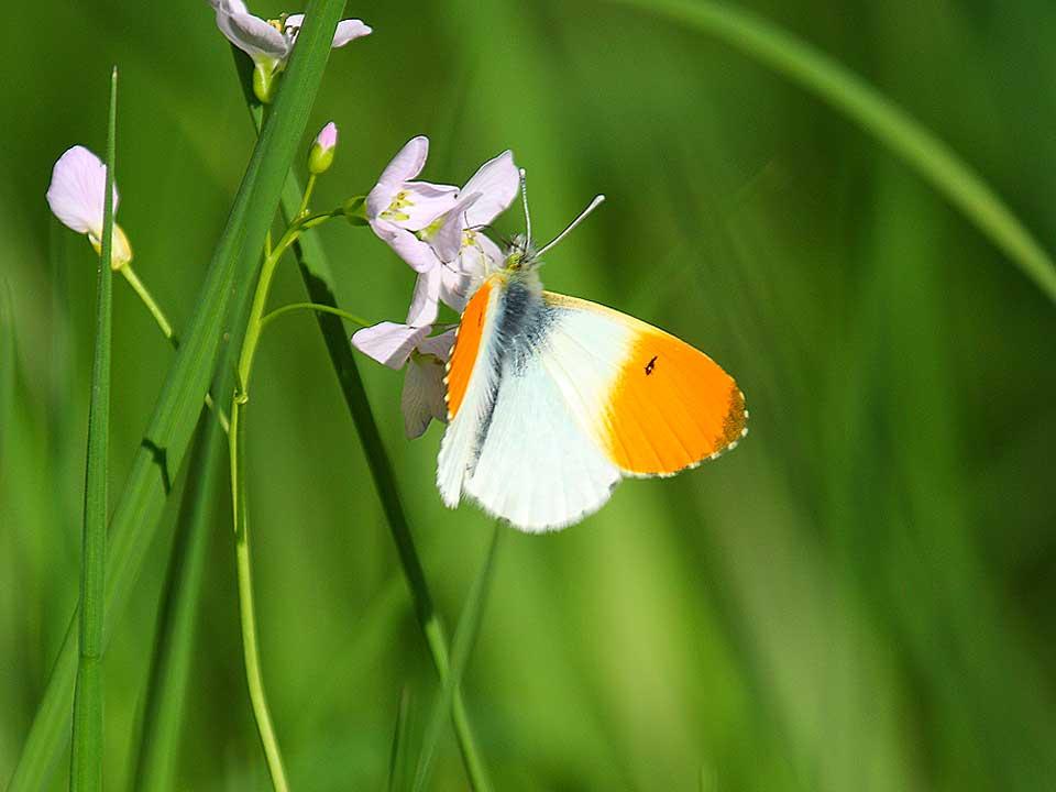 oranje-vlinder_2018_Hortus_Harderwijk_natuur_milieu-educatie_CT